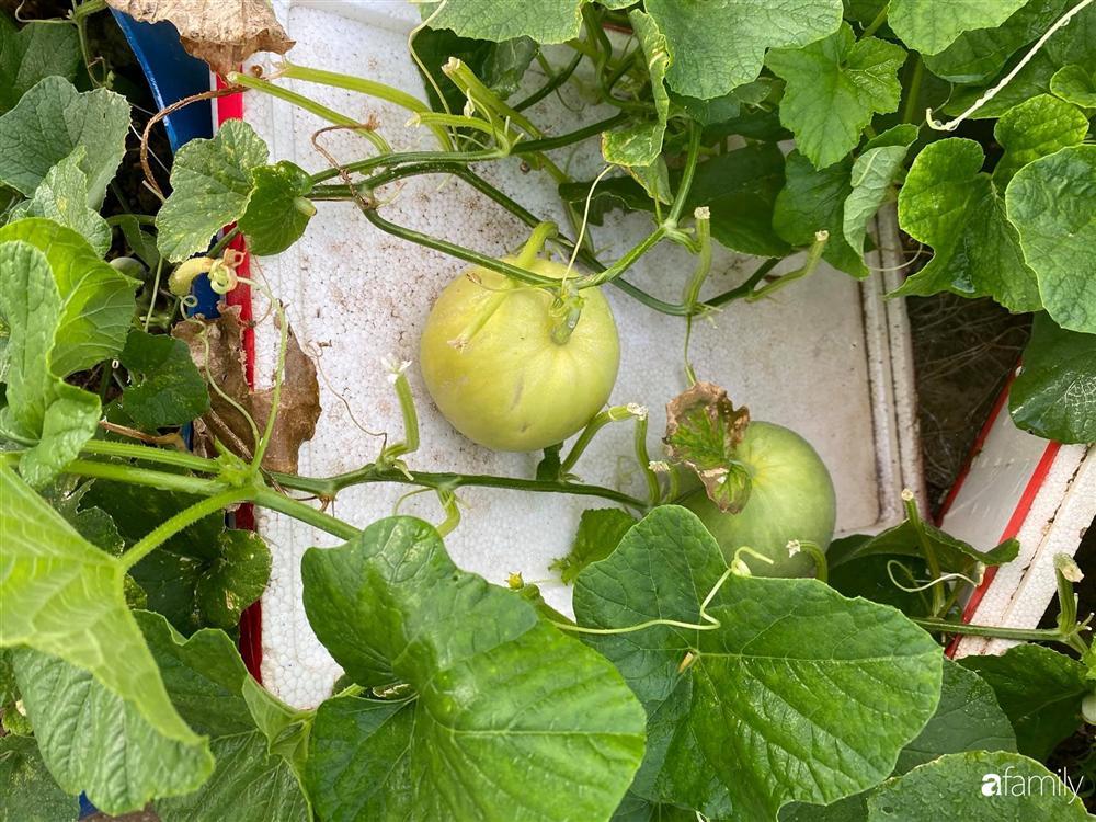 Tận dụng sân thượng chung cư, nữ giám đốc ở Hà Nội đã trồng được một vườn rau đủ loại rau quả sạch với 8 triệu tiền đầu tư-19