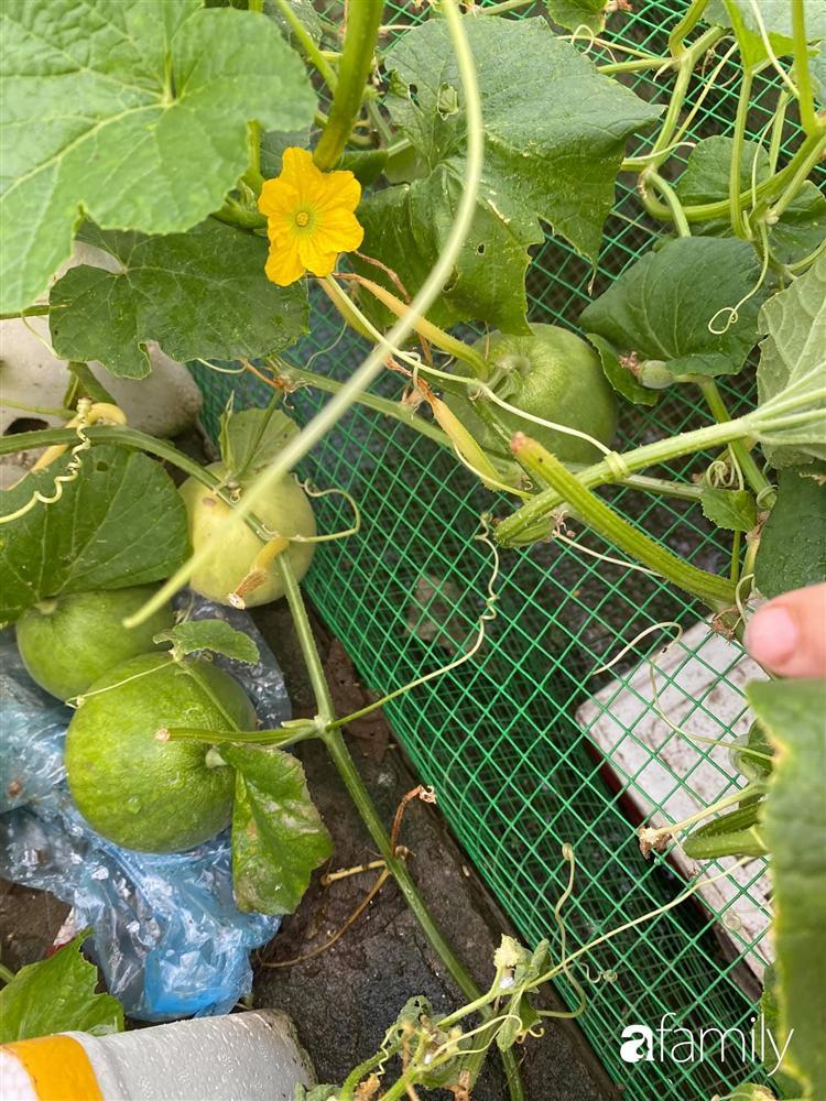 Tận dụng sân thượng chung cư, nữ giám đốc ở Hà Nội đã trồng được một vườn rau đủ loại rau quả sạch với 8 triệu tiền đầu tư-22