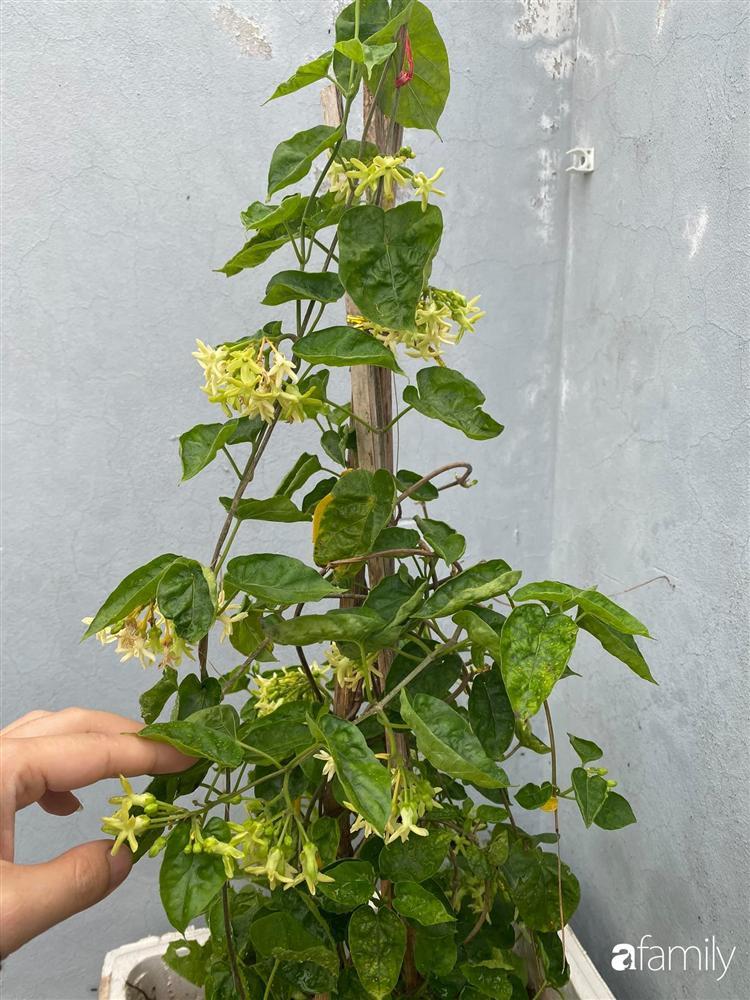Tận dụng sân thượng chung cư, nữ giám đốc ở Hà Nội đã trồng được một vườn rau đủ loại rau quả sạch với 8 triệu tiền đầu tư-24
