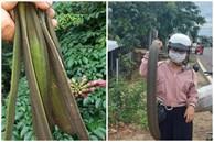 Thứ quả rừng dài cả mét được săn lùng, dân hái bán thu tiền triệu mỗi ngày