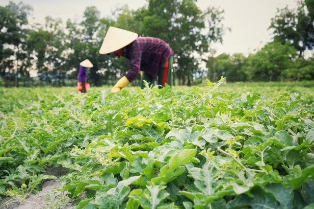 Dưa non tăng giá gấp 3, nông dân vét sạch ruộng cũng không đủ bán-2