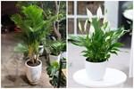 5 loại cây dễ chăm dễ trồng lại tốt cho phong thủy, rước về nhà tụ lộc gấp đôi-5