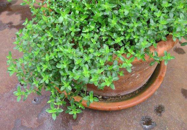 Trồng 6 loại cây này trong nhà, kiến ba khoang ngửi mùi không dám bén mảng-4