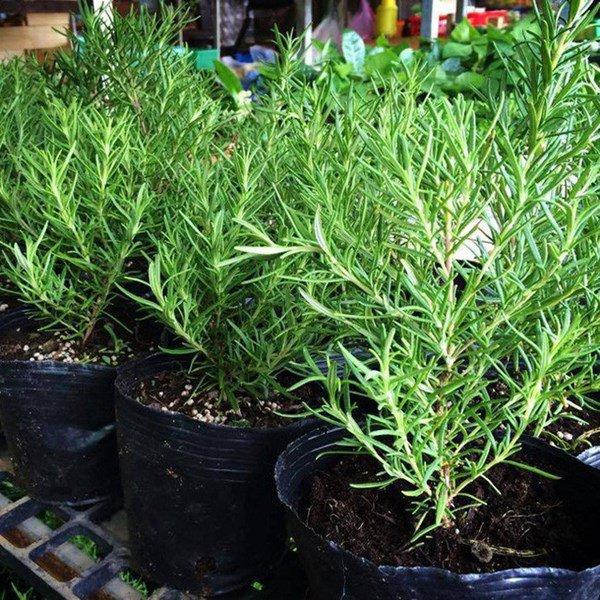 Trồng 6 loại cây này trong nhà, kiến ba khoang ngửi mùi không dám bén mảng-6