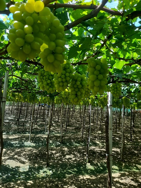 """Nho xanh không hạt giá siêu rẻ"""" bán tràn lan, người trồng nho ở Ninh Thuận nói gì?-6"""