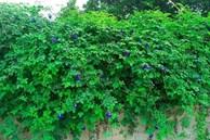 Hoa dại bờ rào đem sấy khô, bán nửa triệu đồng/kg