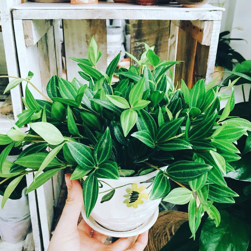 5 loại cây dễ chăm dễ trồng lại tốt cho phong thủy, rước về nhà tụ lộc gấp đôi-2
