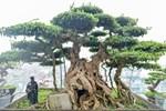 Ngắm cây cảnh mai chiếu thủy tiền tỷ khiến giới chơi cây trầm trồ-4