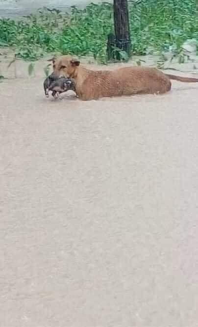 """Rơi nước mắt hình ảnh chó mẹ tha con giữa dòng lũ, hàng loạt động vật rưng rưng như kêu cứu, dân mạng xót xa: Người cứu còn không xuể, biết làm sao đây?""""-2"""