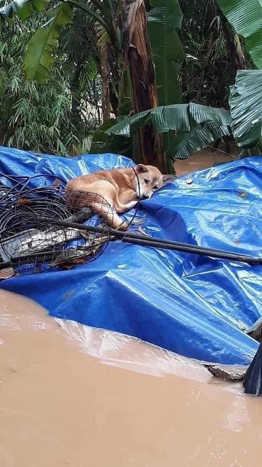 """Rơi nước mắt hình ảnh chó mẹ tha con giữa dòng lũ, hàng loạt động vật rưng rưng như kêu cứu, dân mạng xót xa: Người cứu còn không xuể, biết làm sao đây?""""-4"""