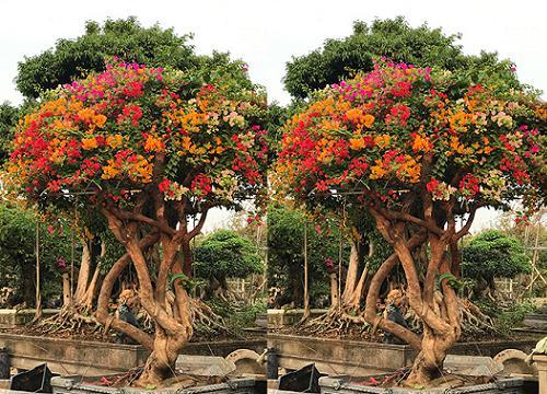 Sốt trước vẻ đẹp của cây hoa giấy ngũ sắc giá hơn nửa tỷ đồng-1