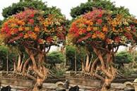 'Sốt' trước vẻ đẹp của cây hoa giấy ngũ sắc giá hơn nửa tỷ đồng