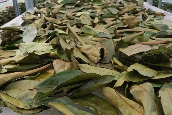 Đặc sản lạ Sóc Trăng: Loại trà không làm từ cây chè, giá 1 triệu/kg-5