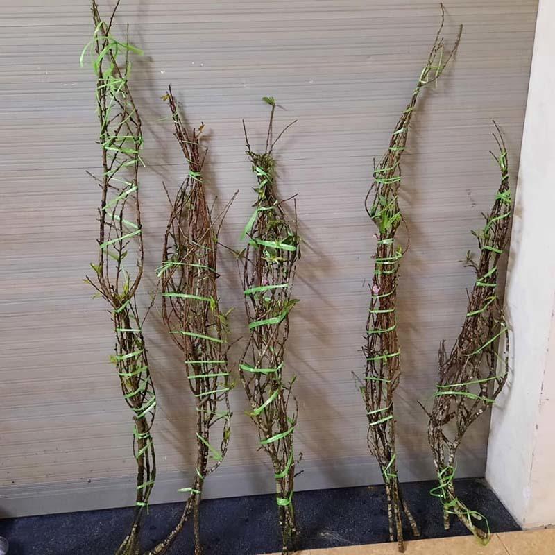 Năm nay rất lạ: Đào rừng nở giữa thu, Hà thành tới tấp đặt mua-2