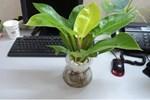 3 tháng cuối năm, đặt ngay loại cây này lên bàn làm việc để hút tài lộc