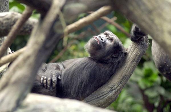 Thấy bé trai rơi vào chuồng, khỉ đột hành động khiến thế giới ngỡ ngàng, 20 năm sau chuyện tương tự xảy ra song con vật nhận kết cục trái ngược hoàn toàn-2