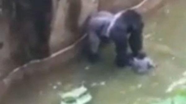 Thấy bé trai rơi vào chuồng, khỉ đột hành động khiến thế giới ngỡ ngàng, 20 năm sau chuyện tương tự xảy ra song con vật nhận kết cục trái ngược hoàn toàn-3