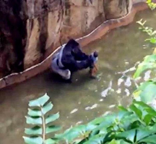 Thấy bé trai rơi vào chuồng, khỉ đột hành động khiến thế giới ngỡ ngàng, 20 năm sau chuyện tương tự xảy ra song con vật nhận kết cục trái ngược hoàn toàn-4