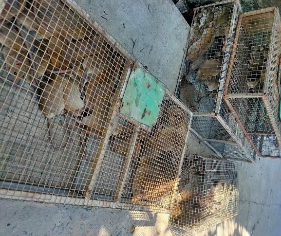 Chuột đồng thành đặc sản đắt hơn thịt lợn, người dân đi bắt kiếm tiền triệu mỗi ngày-2