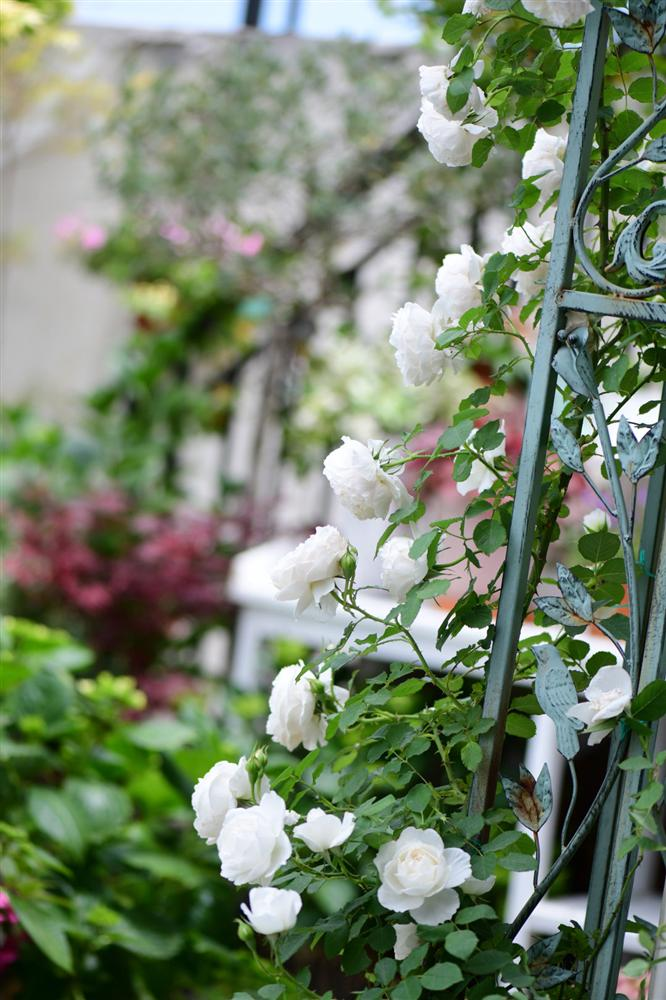Người đàn ông sở hữu vườn hoa trên sân thượng đẹp như thiên đường ai ngắm cũng mê-18