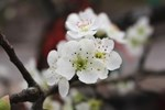 Hoa lê rừng xuống phố ngày đầu năm mới khiến người Hà Nội mê mẩn-17