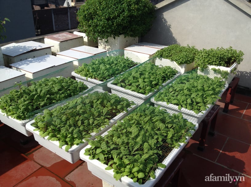 Chi 6 triệu đồng, anh bộ đội phủ kín rau quả sạch trên sân thượng 35m² ở Hà Nội phục vụ gia đình-20