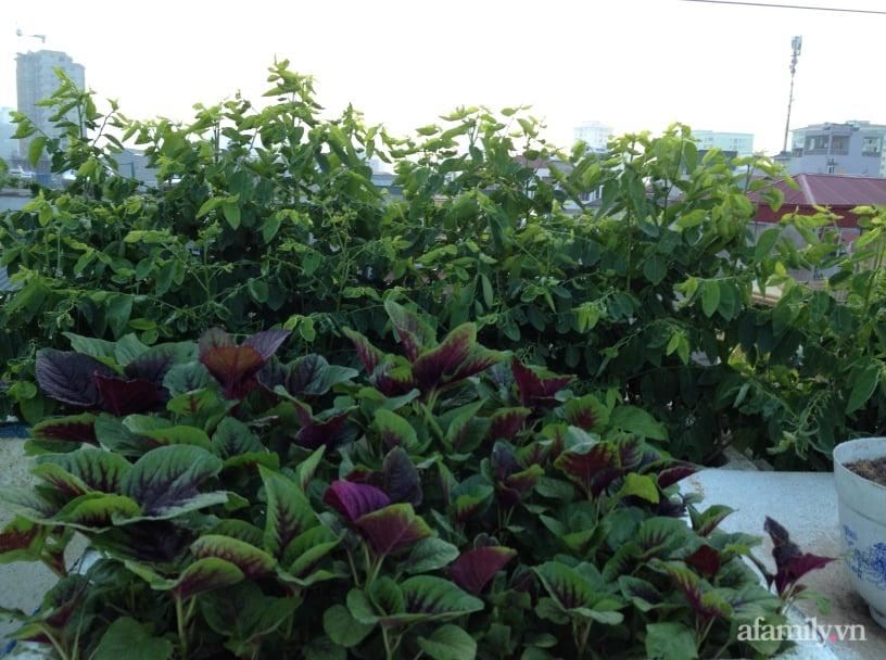 Chi 6 triệu đồng, anh bộ đội phủ kín rau quả sạch trên sân thượng 35m² ở Hà Nội phục vụ gia đình-22