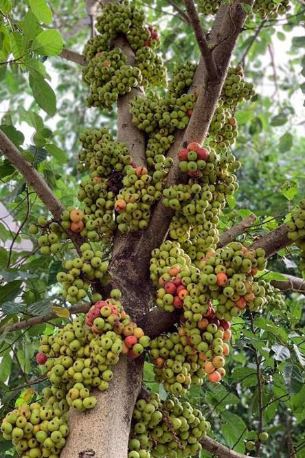 Nhà vườn rộng 2500m2 ngập tràn cây trái của Việt Trinh-5