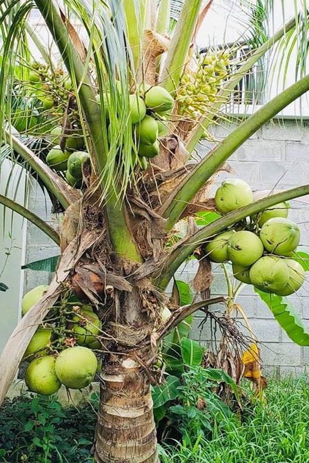 Nhà vườn rộng 2500m2 ngập tràn cây trái của Việt Trinh-6
