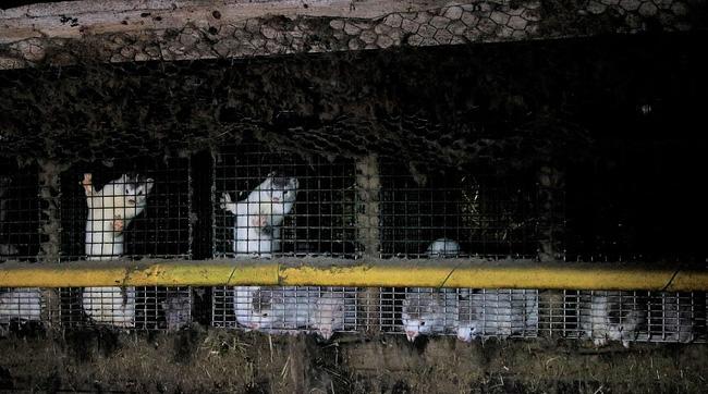 Bên trong trang trại lông thú nơi những loài vật xinh đẹp trở nên điên loạn, tấn công và ăn thịt nhau, chờ đến ngày đượcchết để phục vụ nhu cầu con người-2
