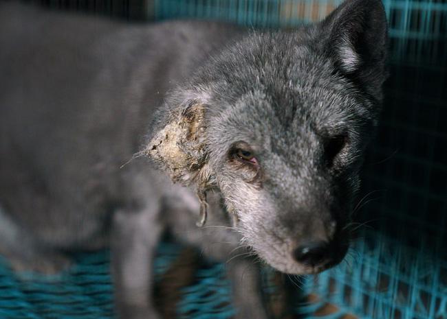 Bên trong trang trại lông thú nơi những loài vật xinh đẹp trở nên điên loạn, tấn công và ăn thịt nhau, chờ đến ngày đượcchết để phục vụ nhu cầu con người-3