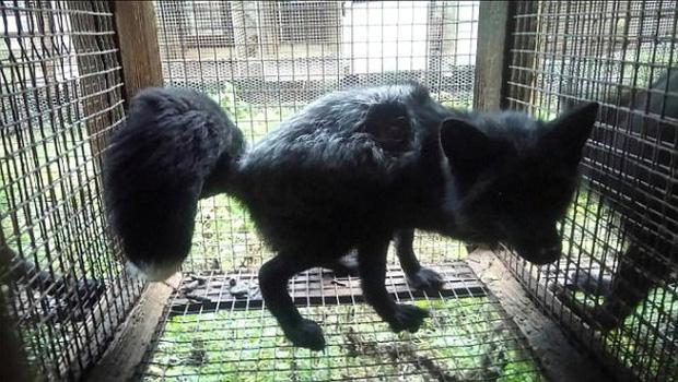 Bên trong trang trại lông thú nơi những loài vật xinh đẹp trở nên điên loạn, tấn công và ăn thịt nhau, chờ đến ngày đượcchết để phục vụ nhu cầu con người-5