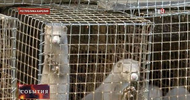 Bên trong trang trại lông thú nơi những loài vật xinh đẹp trở nên điên loạn, tấn công và ăn thịt nhau, chờ đến ngày đượcchết để phục vụ nhu cầu con người-6