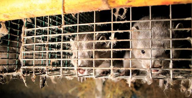 Bên trong trang trại lông thú nơi những loài vật xinh đẹp trở nên điên loạn, tấn công và ăn thịt nhau, chờ đến ngày đượcchết để phục vụ nhu cầu con người-7