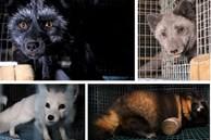 Bên trong trang trại lông thú nơi những loài vật xinh đẹp trở nên điên loạn, tấn công và ăn thịt nhau, chờ đến ngày 'được'chết để phục vụ nhu cầu con người