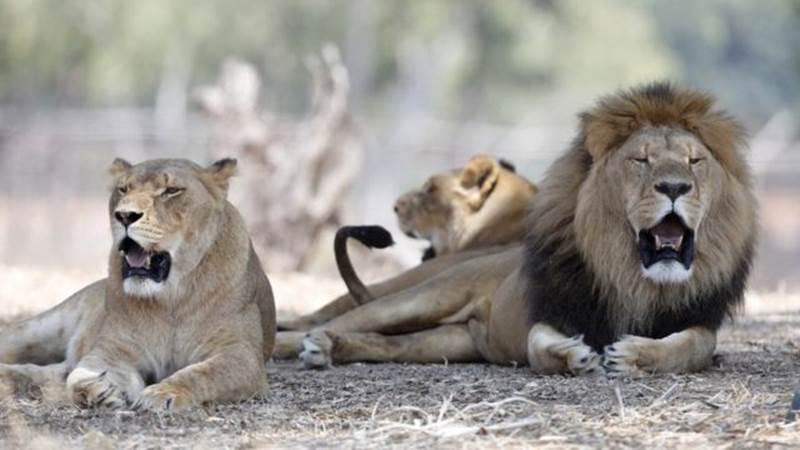 Thần dược chốn phòng the - cái mác mà con người gắn lên động vật để truy cùng diệt tận từ cá, chim đến sư tử và tiếp theo là loài nào?-9