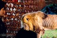'Thần dược chốn phòng the' - cái mác mà con người gắn lên động vật để truy cùng diệt tận từ cá, chim đến sư tử và tiếp theo là loài nào?