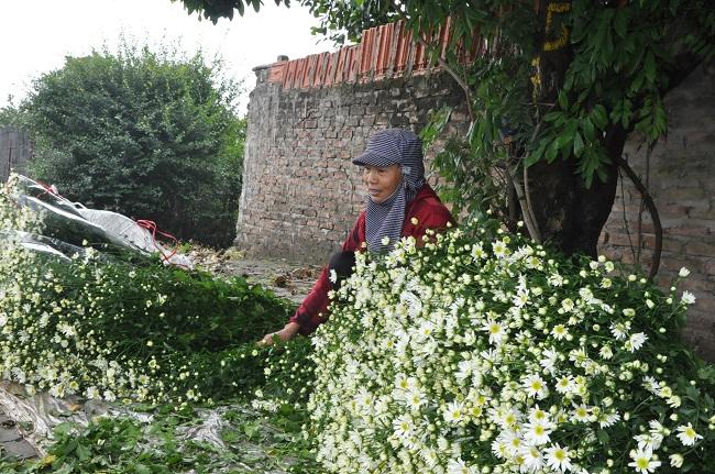 Loài từng là hoa dại ven đường thành đặc sản Hà Nội, nông dân cắt không kịp bán-10