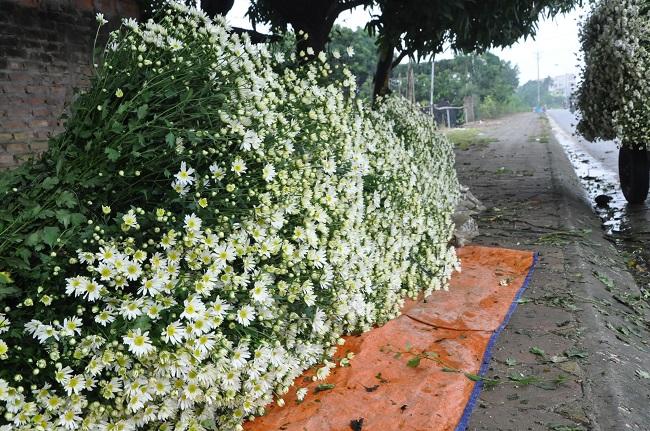 Loài từng là hoa dại ven đường thành đặc sản Hà Nội, nông dân cắt không kịp bán-12