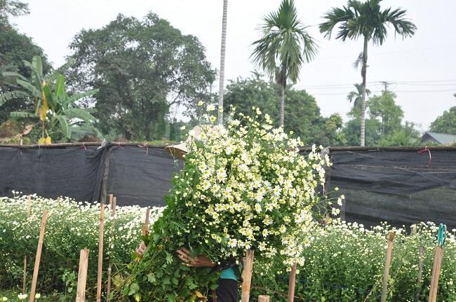 Loài từng là hoa dại ven đường thành đặc sản Hà Nội, nông dân cắt không kịp bán-2