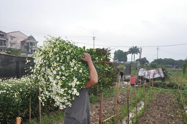 Loài từng là hoa dại ven đường thành đặc sản Hà Nội, nông dân cắt không kịp bán-3