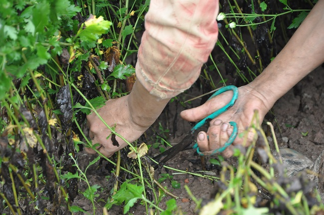 Loài từng là hoa dại ven đường thành đặc sản Hà Nội, nông dân cắt không kịp bán-4