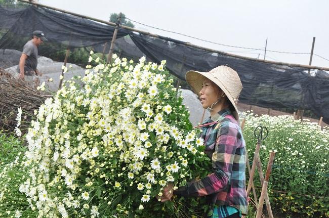 Loài từng là hoa dại ven đường thành đặc sản Hà Nội, nông dân cắt không kịp bán-6