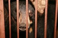 Những màn tra tấn tàn ác từ ngành công nghiệp nuôi gấu lấy mật để có 'thần dược' và sự thật lạnh người khiến con người có thể phải trả giá đắt
