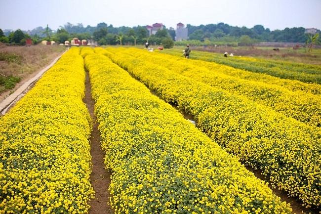 Bông hoa bé bằng cúc áo dùng làm thuốc, pha trà có giá bán tới 800.000 đồng/kg-1