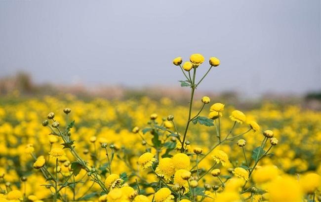 Bông hoa bé bằng cúc áo dùng làm thuốc, pha trà có giá bán tới 800.000 đồng/kg-2