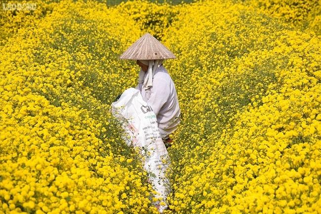 Bông hoa bé bằng cúc áo dùng làm thuốc, pha trà có giá bán tới 800.000 đồng/kg-3