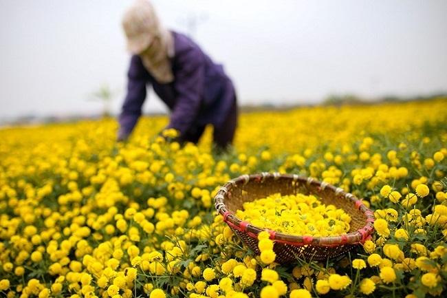 Bông hoa bé bằng cúc áo dùng làm thuốc, pha trà có giá bán tới 800.000 đồng/kg-4