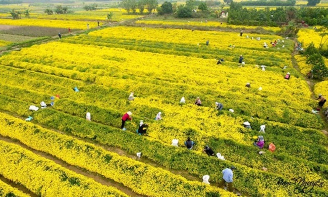 Bông hoa bé bằng cúc áo dùng làm thuốc, pha trà có giá bán tới 800.000 đồng/kg-5