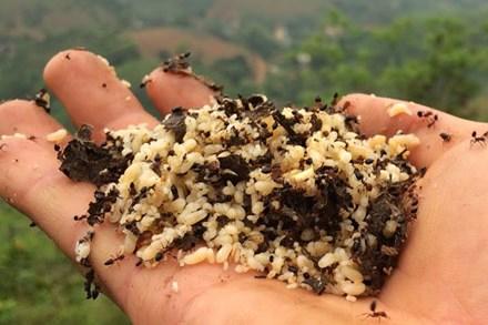 Kỳ lạ trứng kiến gai đen trái mùa hét giá gần triệu đồng/kg vẫn được bà nội trợ sành ăn
